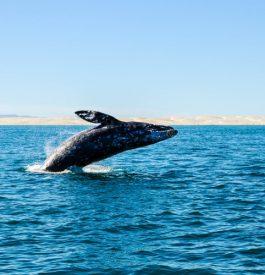 Contempler des baleines