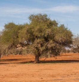 Utiliser l'huile d'argan comme les Marocaines