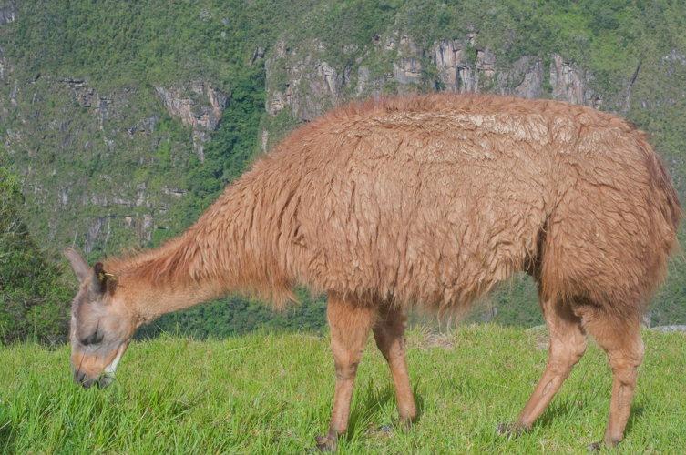 Seuls les lamas sont là, devenant l'attraction des photographes !