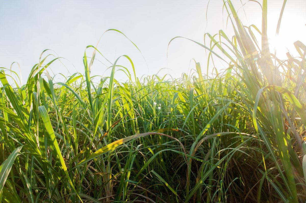 Des champs de cannes à sucre nous entourent