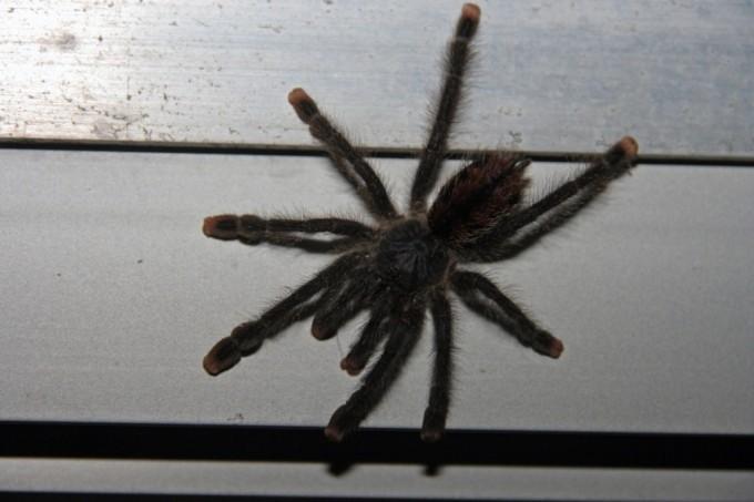 Tête à tête - mygale
