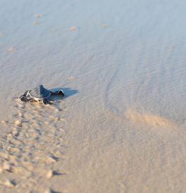 Découvrir des tortues luth en Guyane