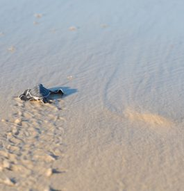Naissance de tortues luth en Guyane