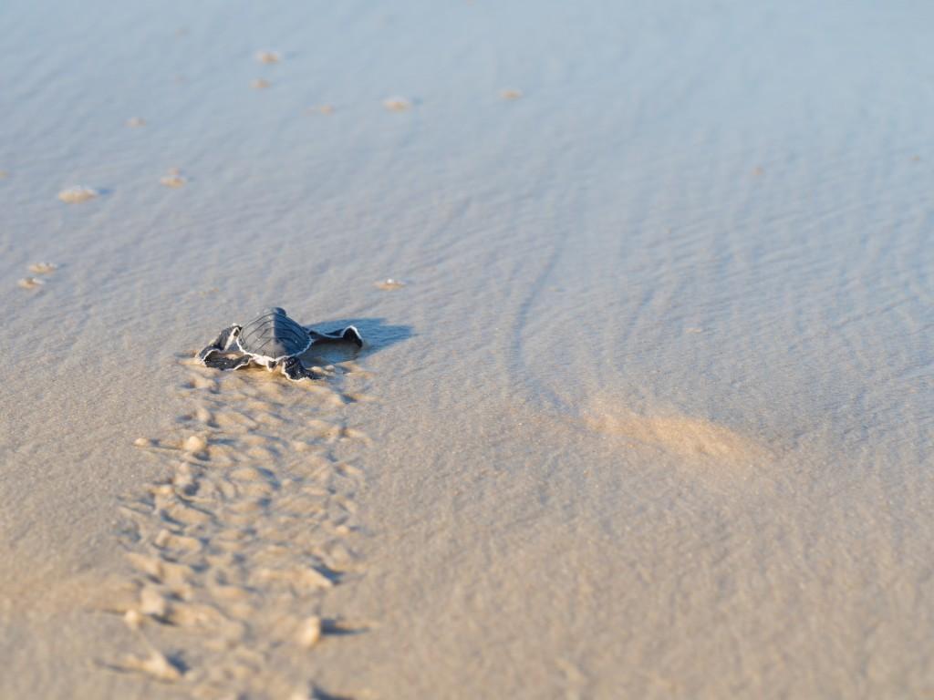 La Guyane, terre d'émotions, avec les tortues Luth