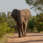 Faire un tour dans le Parc Kruger en Afrique du Sud