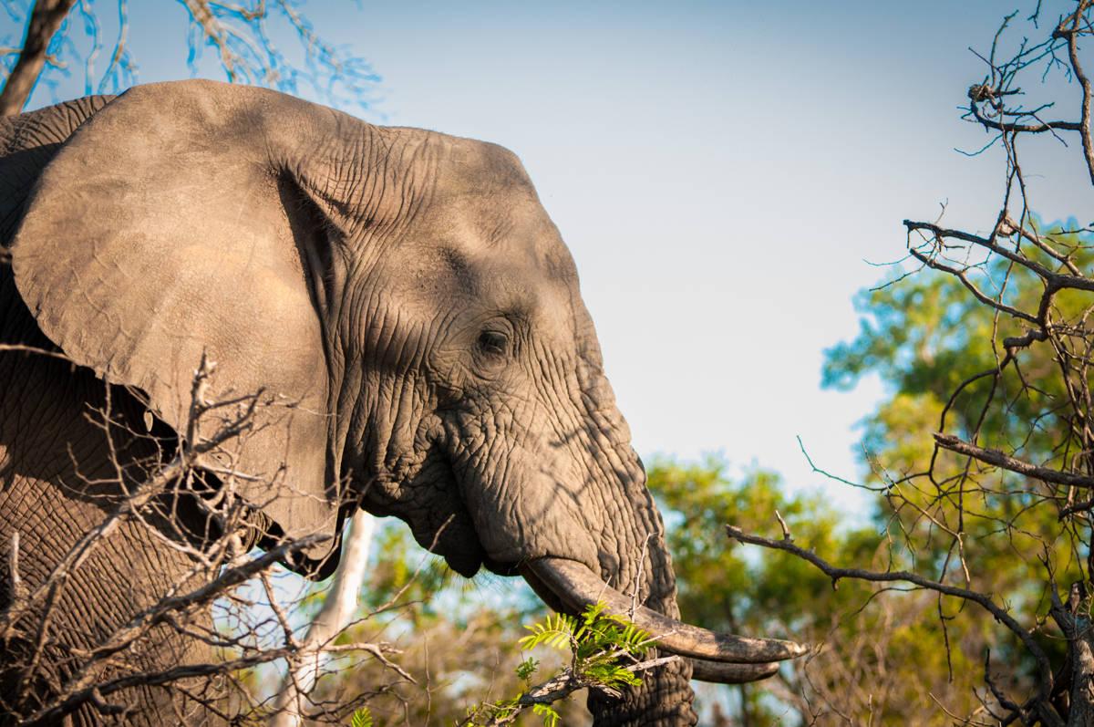 un elephant au parc kruger
