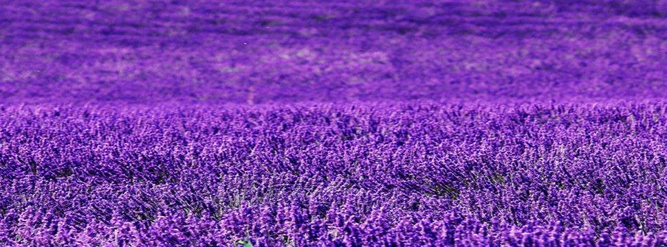 La lavande est en fleur. C'est le moment de venir visiter le Vaucluse !