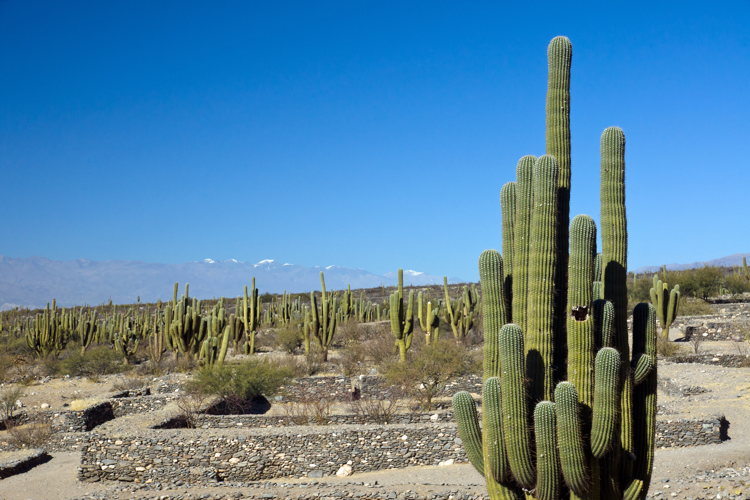 Cactus - ruines de Quilmès - Argentine