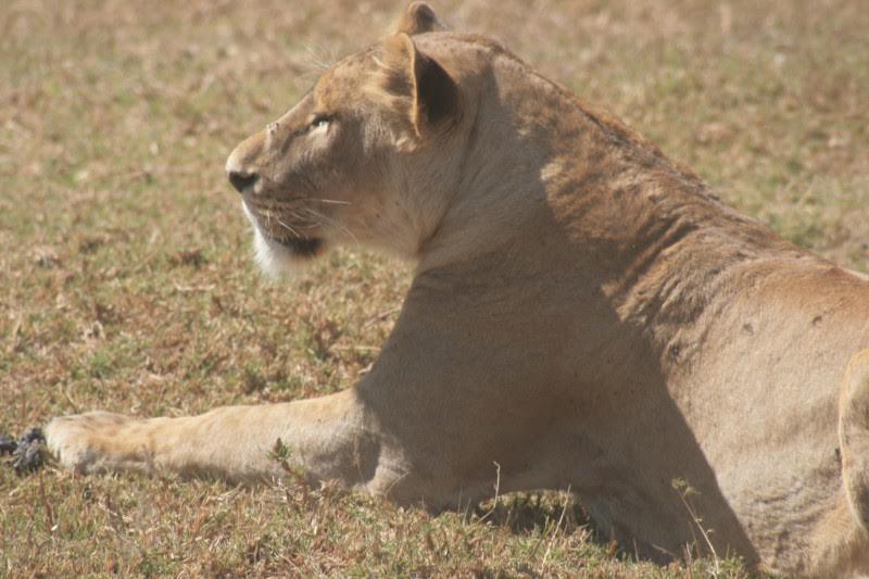 Lion - voyage cratère du Ngorongoro - Tanzanie