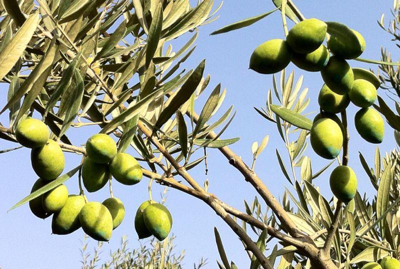 Des champs d'olivier entourent la maison