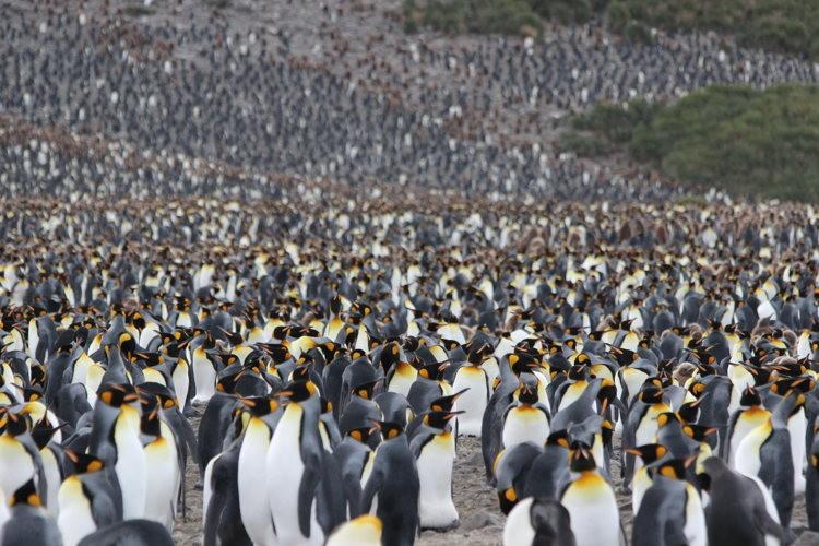 Des pingouins par milliers