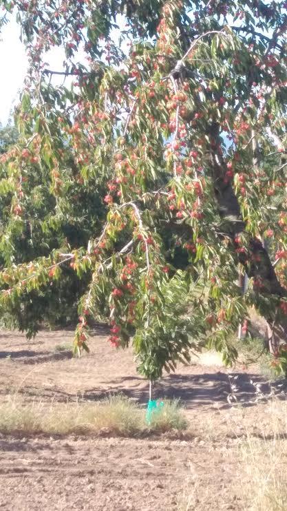 Les cerisiers gorgés de cerises