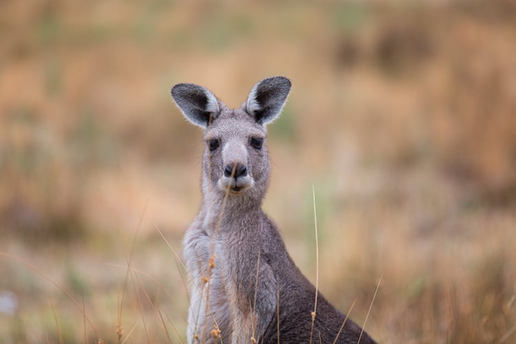 A peine le temps d'attraper l'appareil photo que mon kangourou s'en va déjà...