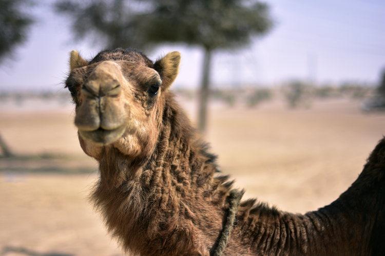 Une balade à dos de chameau ? C'est parti