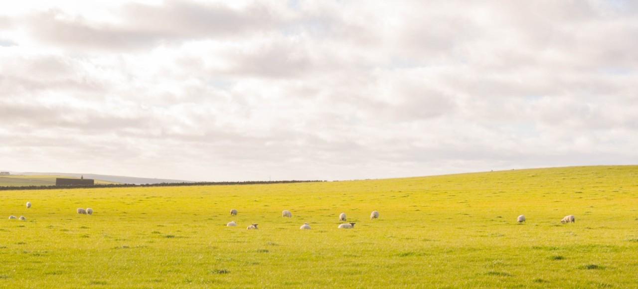 Plus de moutons que d'êtres humains à Papa Westray en Écosse