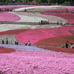 Les collines en fleurs de Chichibu, au Japon
