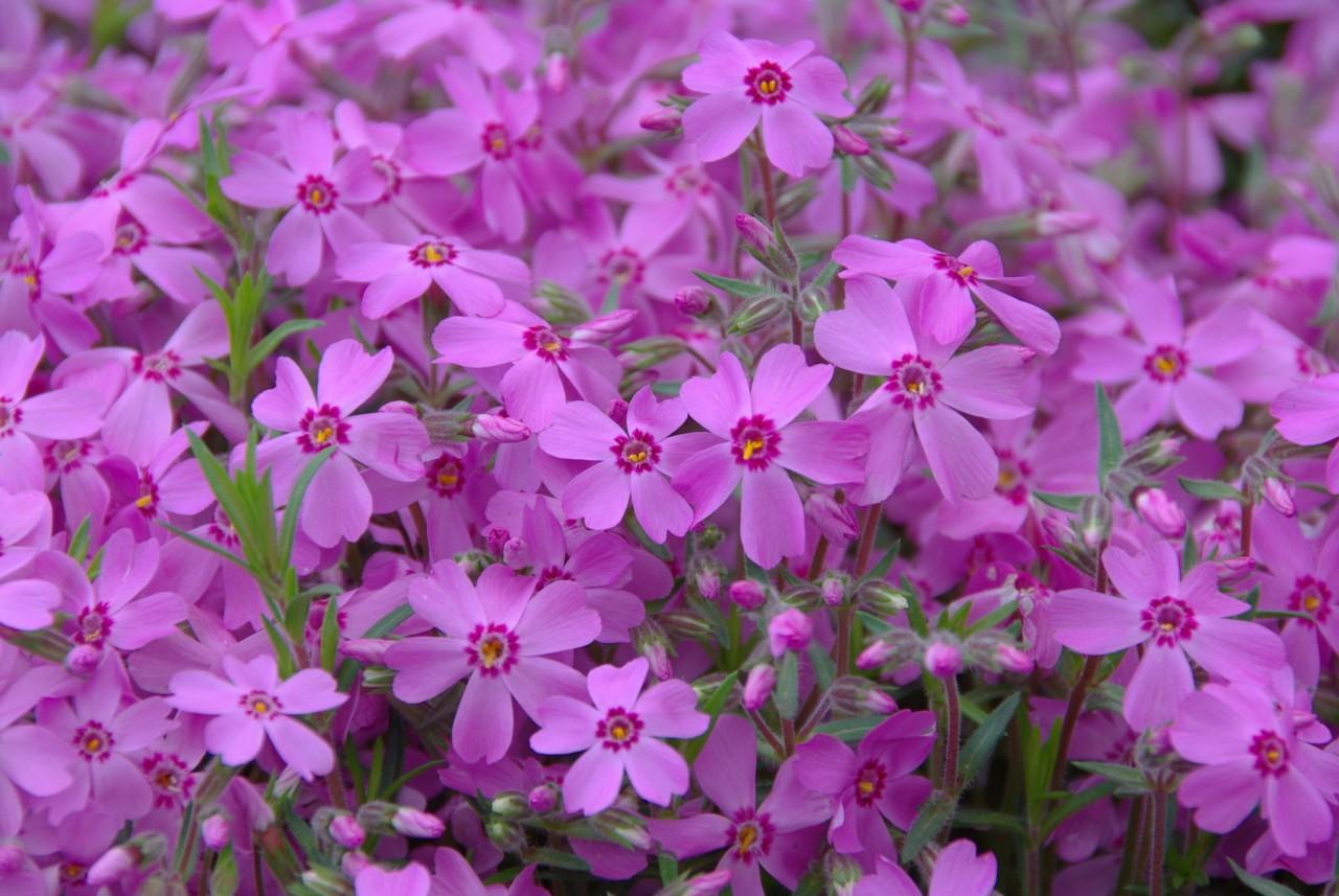 Les jolies fleurs de Chichibu, au Japon Photographies ©Yasufumi Nishi/©JNTO