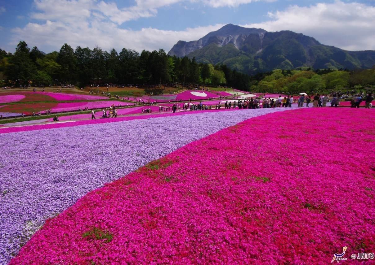 Des champs en fleurs de Chichibu, au Japon Photographies ©Yasufumi Nishi/©JNTO