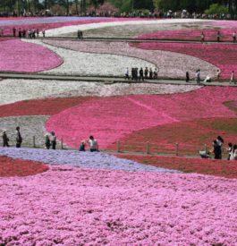 A Chichibu, des champs de fleurs au Japon