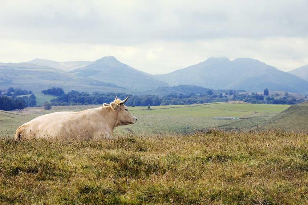 Une vache Aubrac sur les hauts plateaux de l'Aubrac