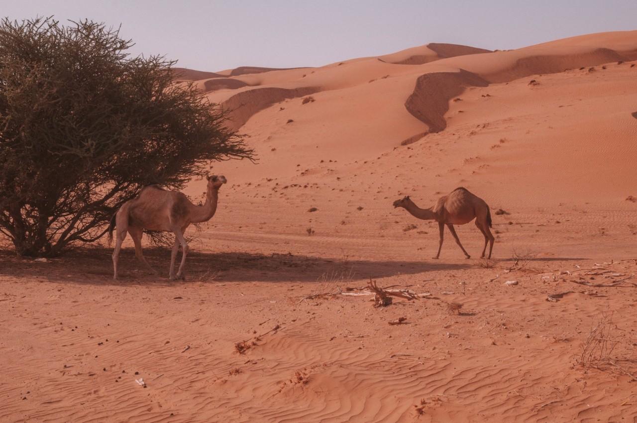 Croiser quelques dromadaires dans le desert de Wahiba à Oman
