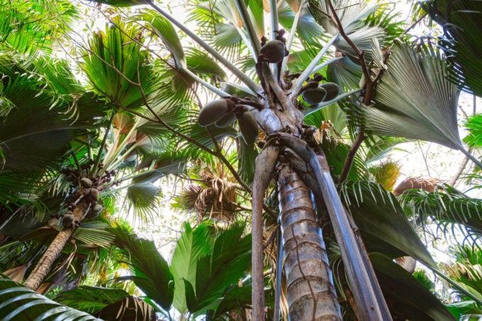 Les cocos des arbres sont rares !