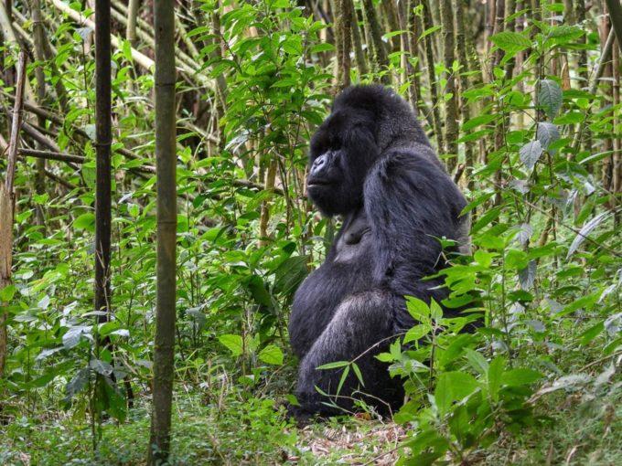 Le gorille du Rwanda