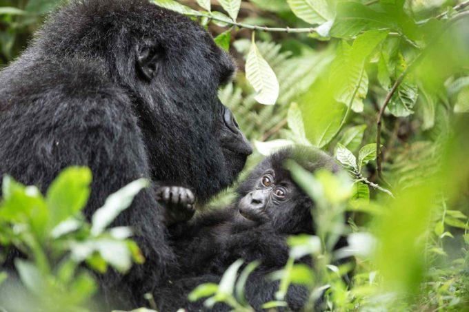 Femelle gorille avec son petit