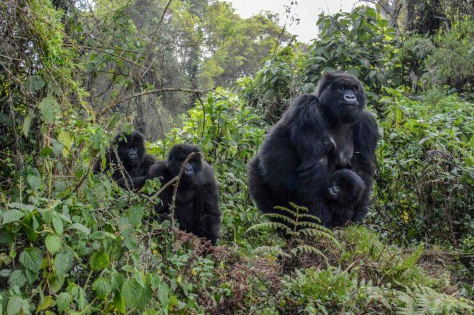 Une famille gorille