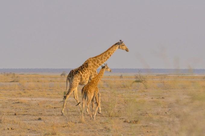 Une famille de girafes