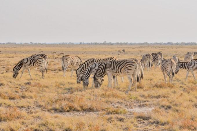 Des troupeaux de zèbres immenses à Etosha