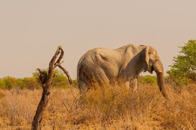 Eléphant à Etosha, le parc naturel de la Namibie