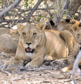 Un lion garder l'oeil sur sa famille
