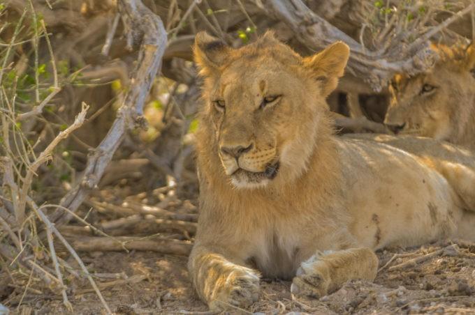 Une meute de lionnes avec leur petit à à peine 5 mètres de nous. Notre cœur palpite !