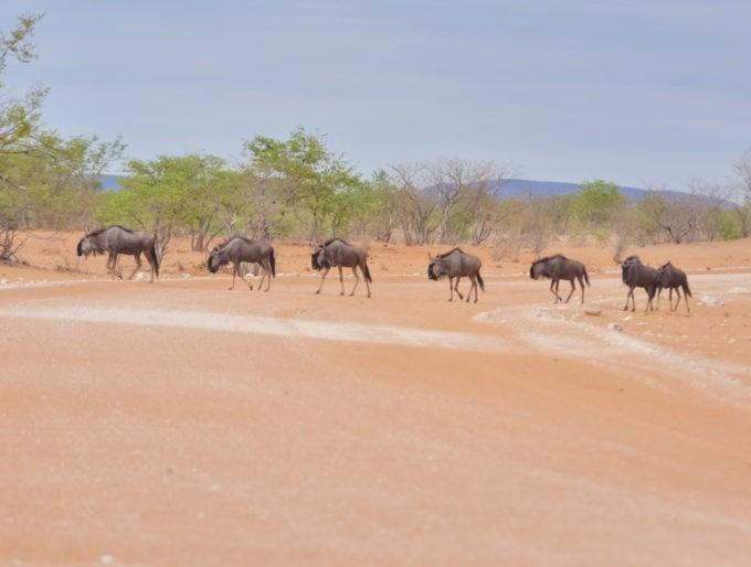 Un troupeau de gnous