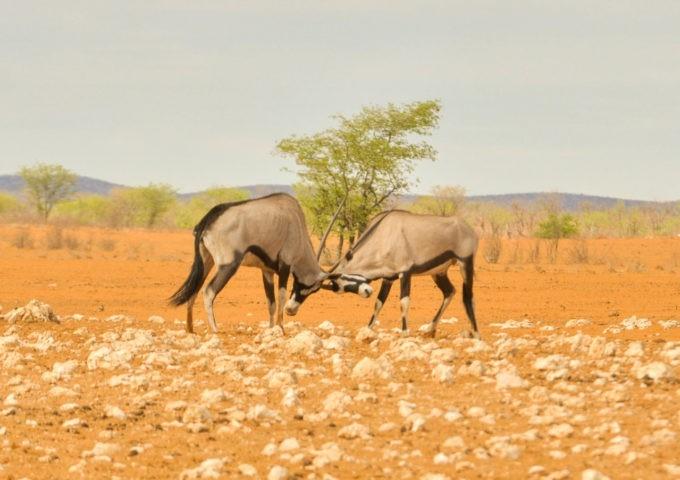 Combat entre oryx