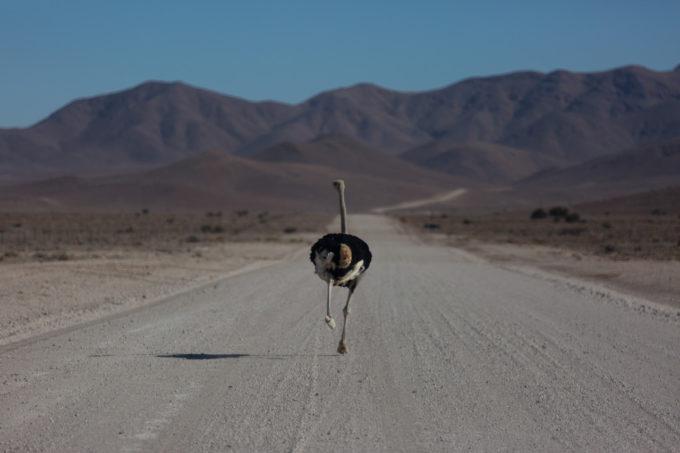 Faire la course avec une autruche sur la piste !