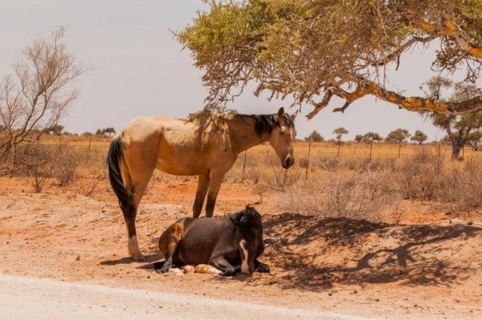 Les chevaux sauvages de Luderitz