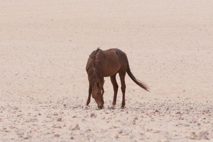 Pas farouches ces chevaux sauvages s'approchent des visiteurs sans grande réticence