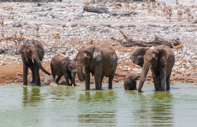 Des éléphants à un point d'eau