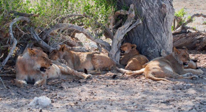 Un groupe de lionnes avec leurs petits