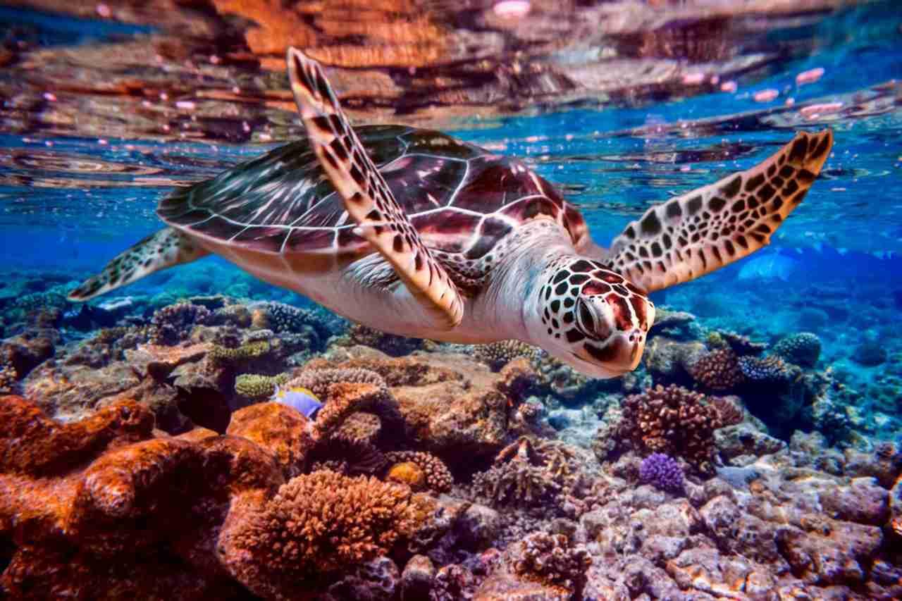 plonger avec des tortues marines lors d'un voyage aux Maldives