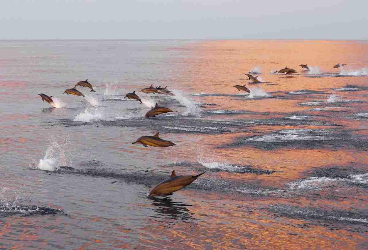 un banc de dauphins aux maldives