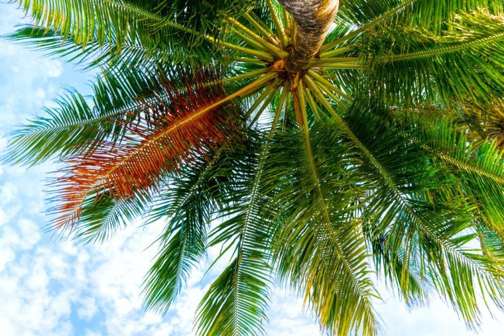 palmier et cocotier maldives