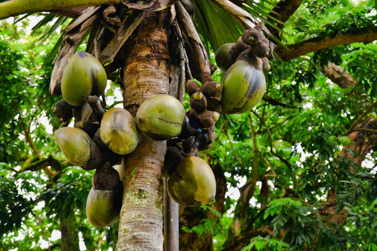 L'ile au coco aux Seychelles