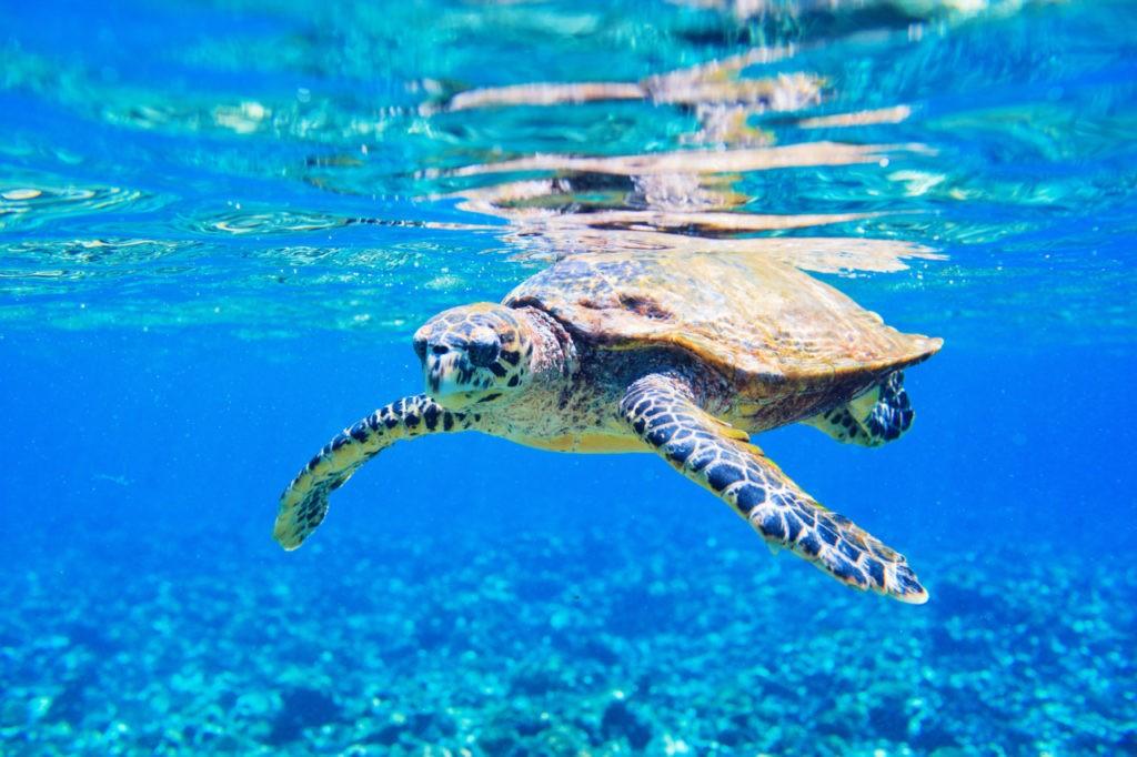 Tortue marine aux Seychelles