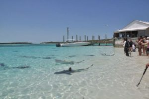 Requin Grand Bahamas