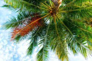 palmier-et-cocotier-maldives