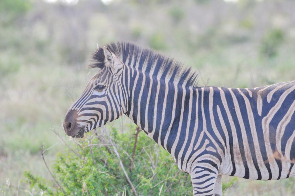 Un zébre au Kruger Parc