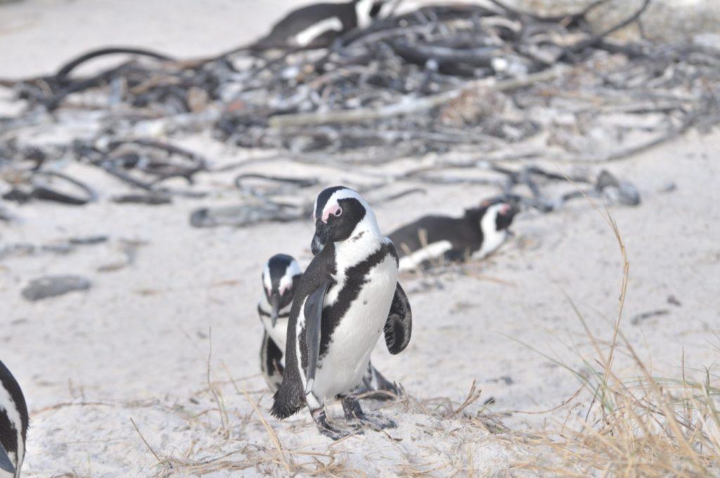 Des pingouins en nombre à Cape Point